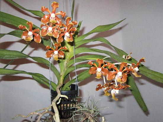 Hình ảnh hoa lan Vanda cam xinh xắn