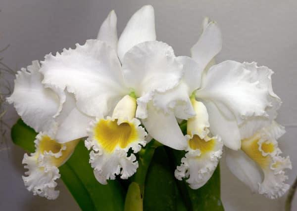 Ảnh hoa lan Cattleya trắng tinh khôi