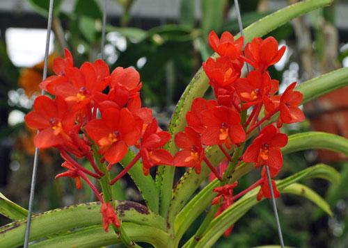 Ảnh hoa lan Vanda tuyệt đẹp được ưa thích nhất