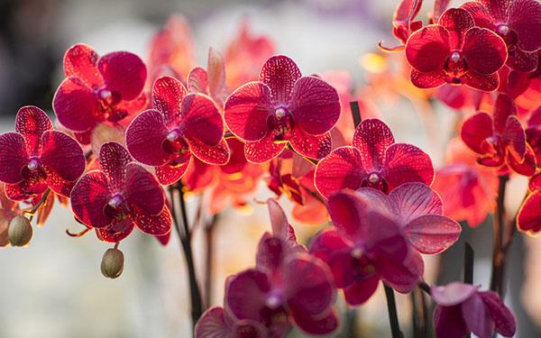 Ảnh hoa lan đại hồ điệp đỏ rực rỡ