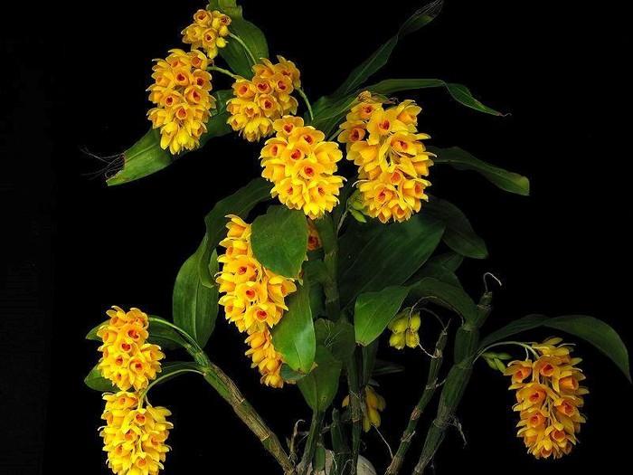 Ảnh hoa lan vàng nở rộ tuyệt đẹp