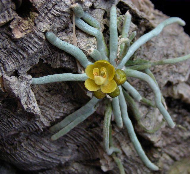 Hình ảnh hoa lan căn điệp vàng lạ mắt, độc đáo