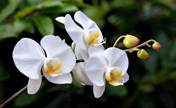Hoa lan hồ điệp trắng đẹp nhã nhặn