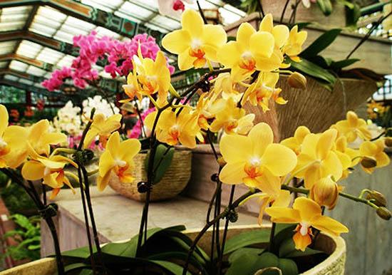 Hình ảnh hoa lan hồ điệp vàng tượng trưng cho sự hi vọng