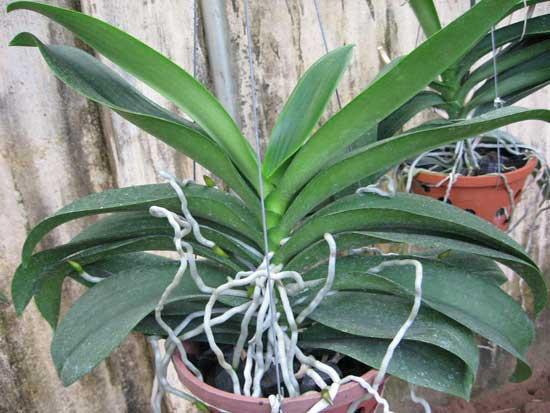Diệt sâu bệnh khi trồng lan hồ điệp giúp cây phát triển