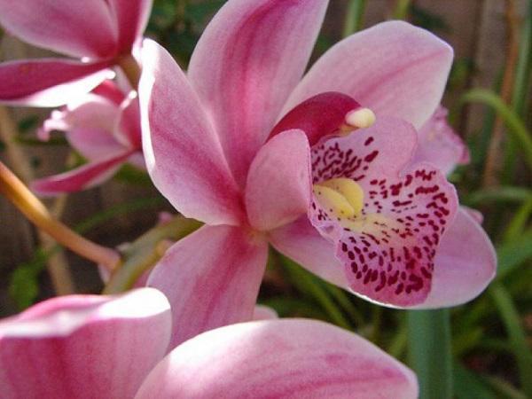 Hình ảnh hoa địa lan Sato nở rộ cực hấp dẫn