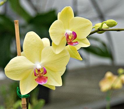 Ảnh hoa lan hồ điệp vàng nở rộ tuyệt đẹp