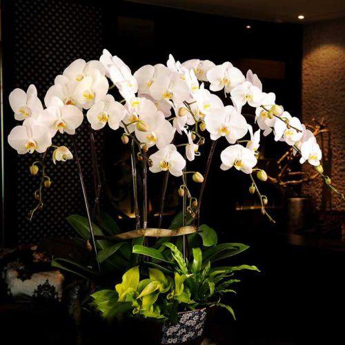 Hình ảnh hoa lan hồ điệp trắng sang trọng