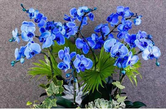 Ảnh hoa lan hồ điệp xanh huyền bí tuyệt đẹp