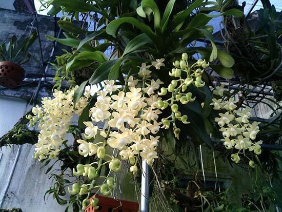 Hình ảnh quế lan hương trắng tuyệt đẹp