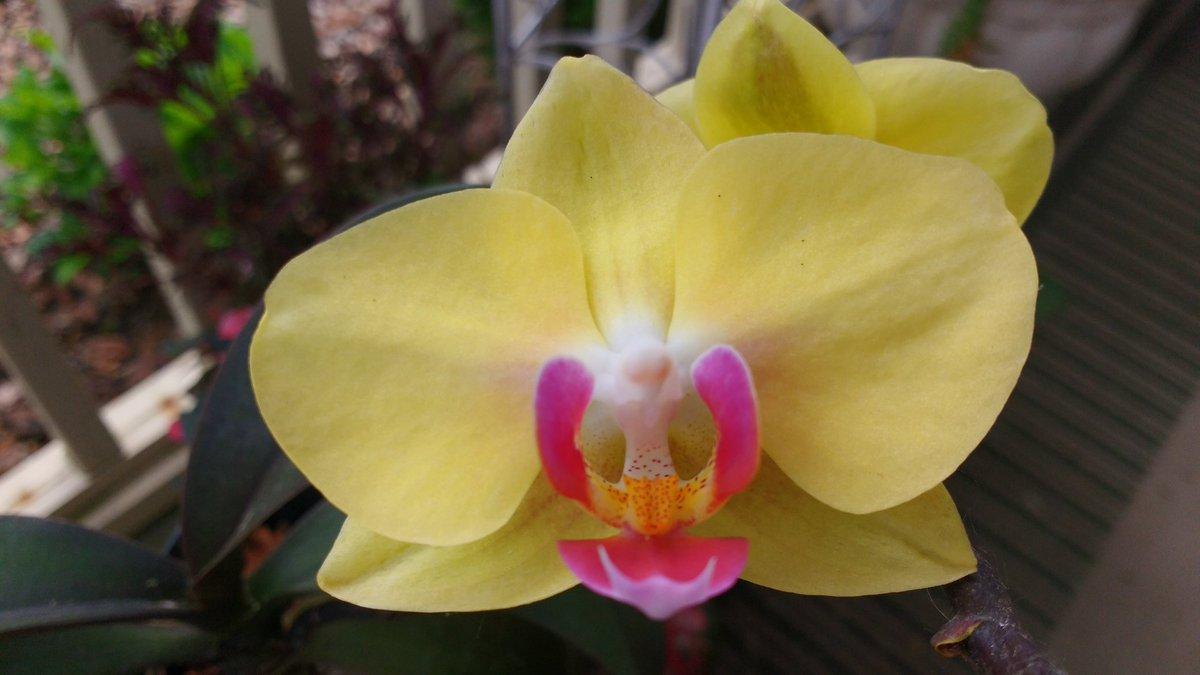 hoa lan hồ điệp vàng có thể xua đuổi xui xẻo