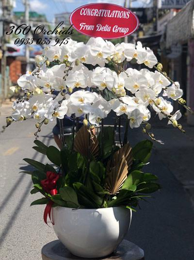 Chậu hoa lan hồ điệp - Long lanh