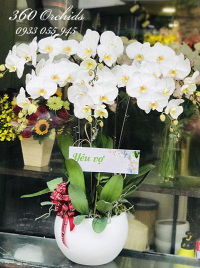 Chậu hoa lan hồ điệp trắng 6 cành - Tình yêu son sắt