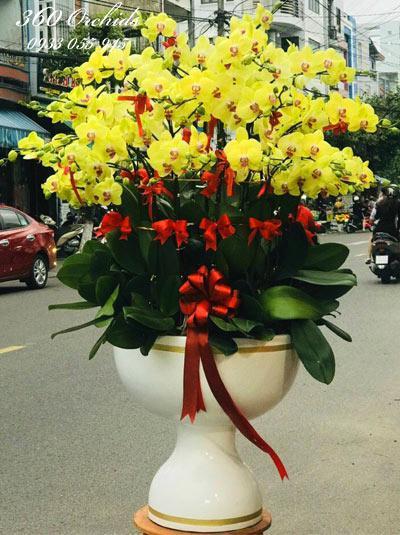 Chậu hoa lan hồ điệp vàng - Vinh quang