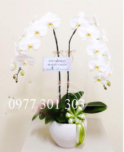 Hoa lan hồ điệp mini trắng tao nhã