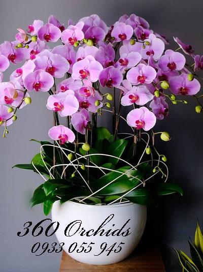 Chậu lan hồ điệp tết 12 cành tím hồng giàu sang phú quý