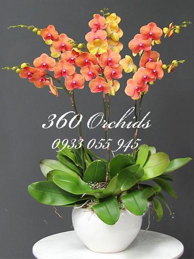 Chậu lan hồ điệp tết - trăm hoa đua nở