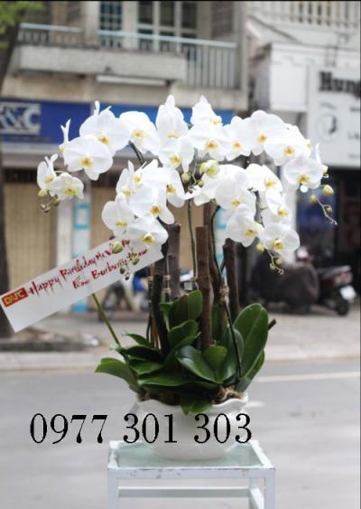 Chậu lan hồ điệp trắng - Xuân an khang