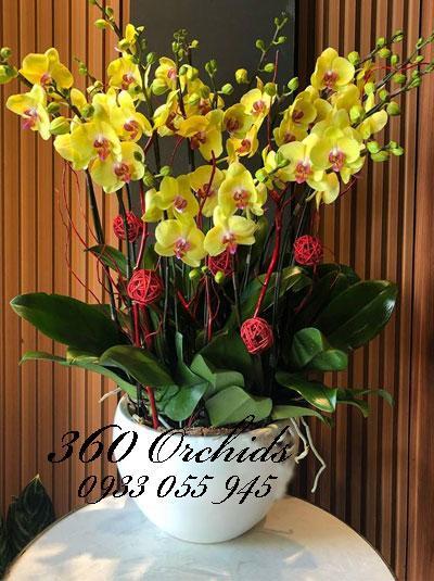 Chưng tết sang chảnh với hoa lan hồ điệp tết