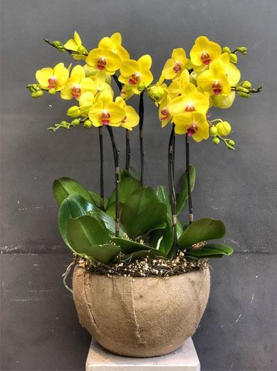 Chậu hoa lan hồ điệp vàng đẹp nhất