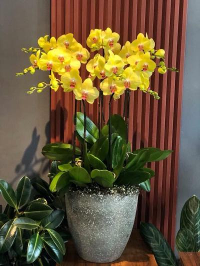 Hoa lan hồ điệp vàng may mắn, sang trọng