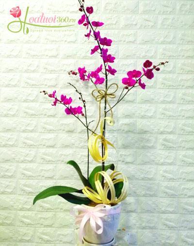 Hoa lan mini để bàn xinh xắn