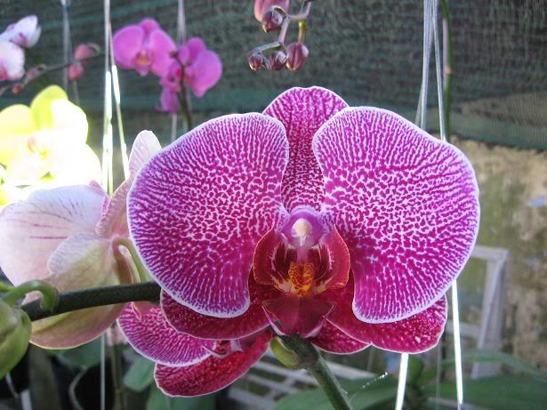 Cũng như những loài hoa khác sự tích Lan Hồ Điệp được lưu truyền ngày càng nhiều hơn