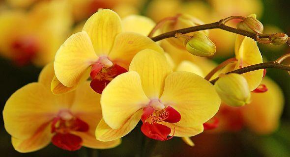 Hoa lan hồ điệp vàng đang mùa nở rộ