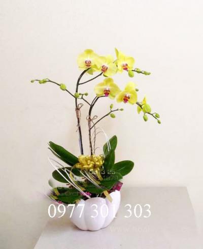 http://hoalan360.com/uploads/file/HOA%20LAN%20360/hoa-lan-ho-diep-nhi-mini2.jpg