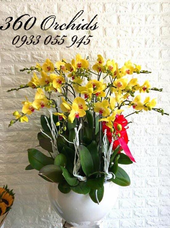 Hoa lan hồ điệp vàng cho ngày tươi mới