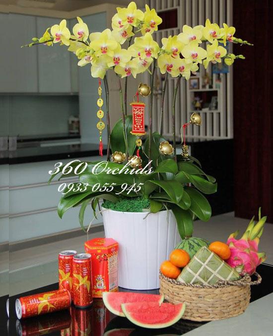 Hoa lan hồ điệp tết rực rỡ