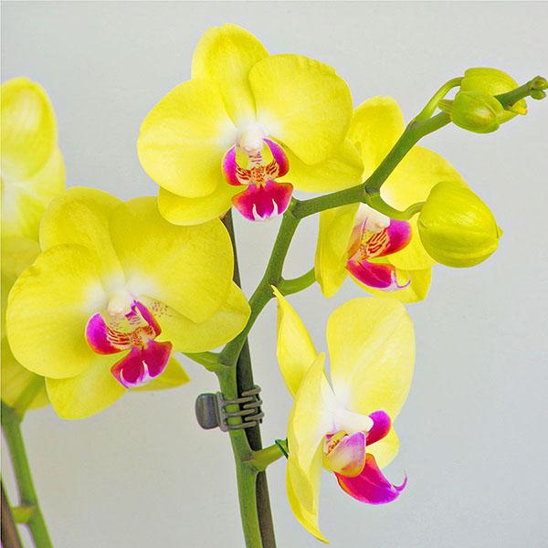 Lan Hồ Điệp vàng không những có vẻ đẹp thanh cao, ấm áp, nhẹ nhàng