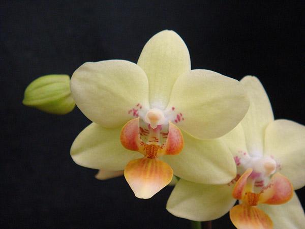 Hồ Điệp vàng loại Phalaenopsis Brother Sweet Sugar