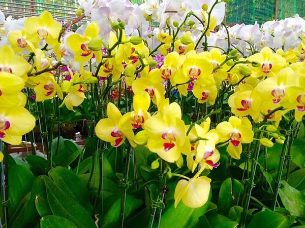 Kích hoa lan hồ điệp vàng