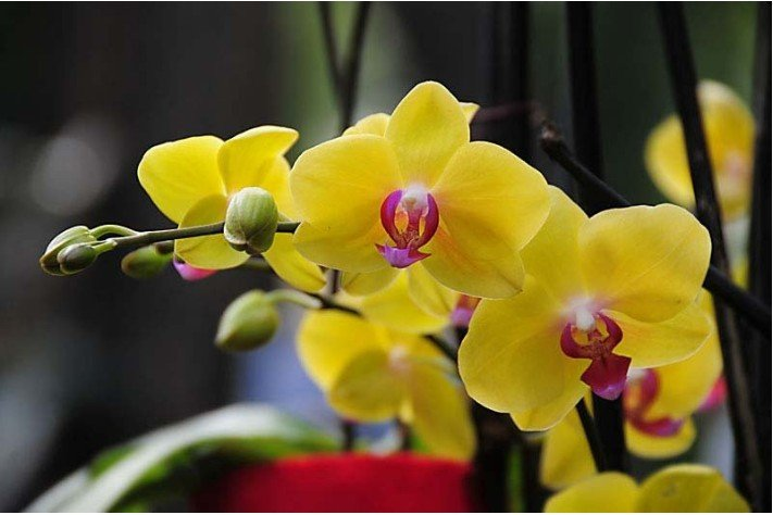 Hoa Lan Hồ Điệp vàng có nhiều chủng loại