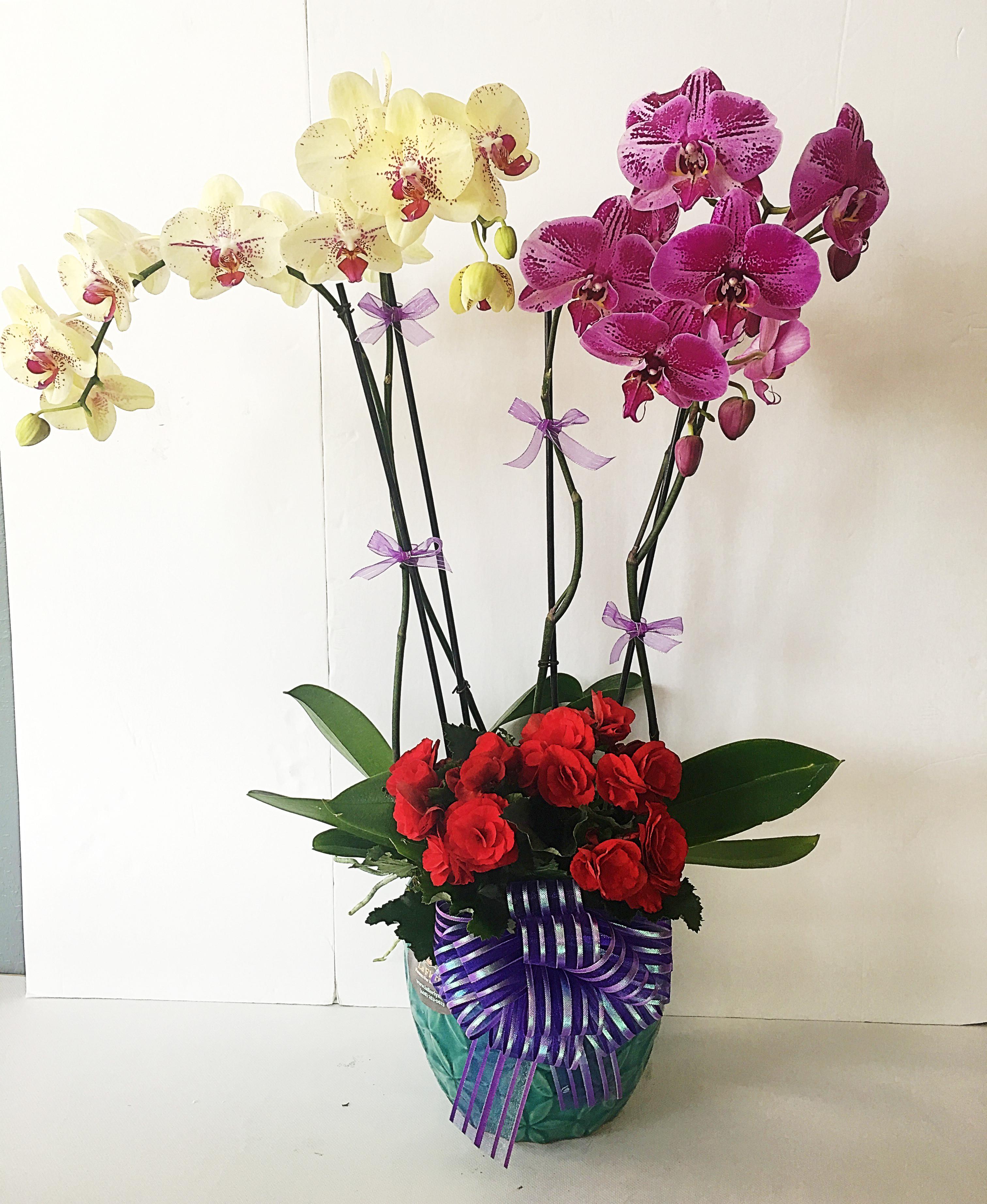 Chậu hoa lan hồ điệp kết hợp màu tím và màu vàng độc đáo