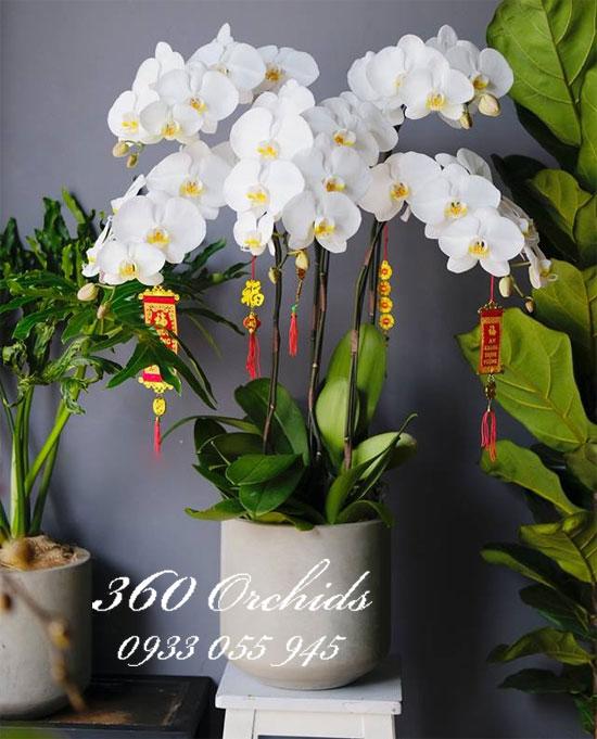 Chậu hoa lan hồ điệp kết hợp trắng chưng tết phú quý