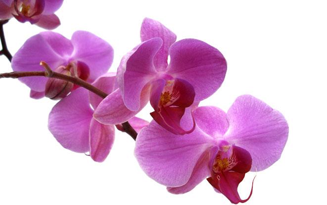 Hoa lan hồ điệp tím đầy ngọt ngào thơ mộng