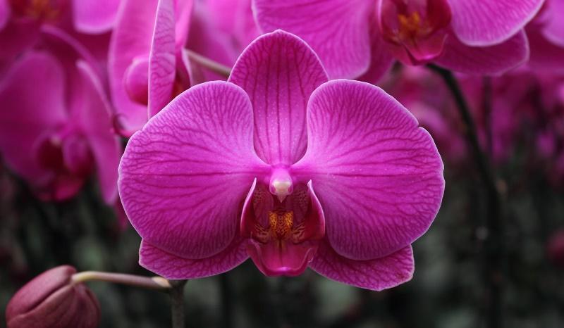Hoa lan tím biểu tượng hoa trong tình yêu