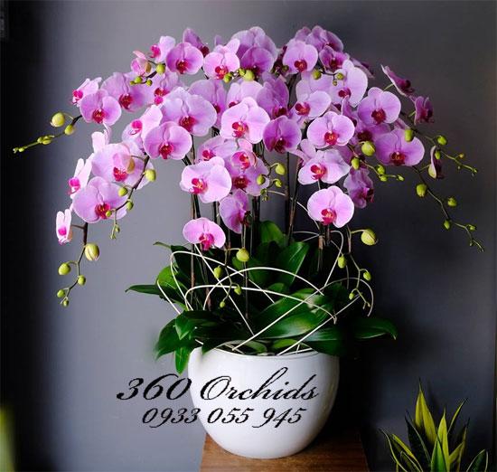 Hoa lan hồ điệp tết 12 cành