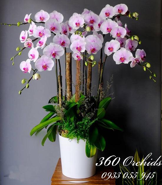 Hình ảnh hoa lan hồ điệp tím món quà ý nghĩa nhất